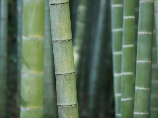 bamboo_picture